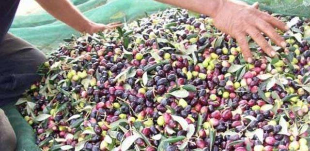 olive-furto.jpg