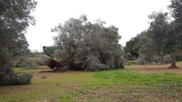 ulivi-sradicati10-1.jpg
