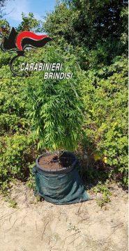 sequestro-marijuana-in-terreno-demaniale-1.jpg